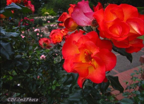 Rose Garden, Portland Oregon